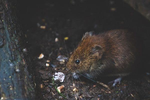voles in my yard