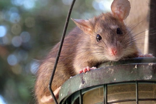 How to rid my house of rats